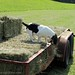 Bert on the hay trailer 1