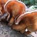 One More Fungus - a Panus species (cf Panus fasciatus)