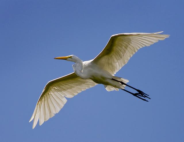 Garza Blanca Ave Garza Blanca / Great Egret