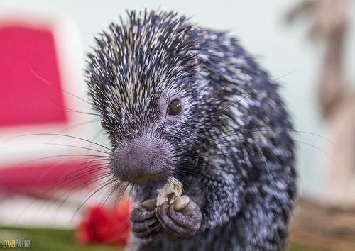 Rothschild's porcupine Gamboa Wildlife Rescue pandemonio 2017 - 04 | by Eva Blue
