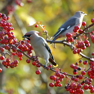 Waxwings | by vanstaffs