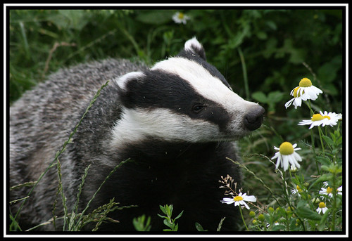 Badger | by Tatterdemalion!