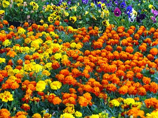Marigolds and Pansies | by di_the_huntress