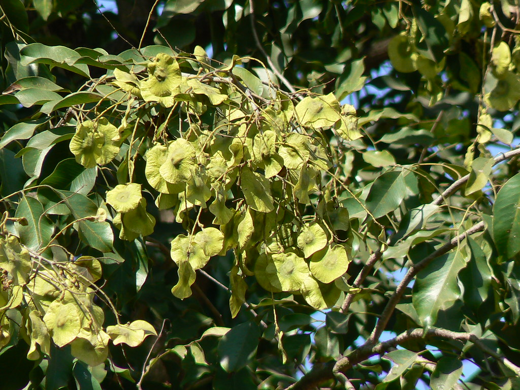 Bija marathi fabaceae pea or legume family for Terrace meaning in tamil