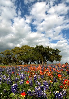 Bluebonnets and Live oaks | by Forrest Fotographer