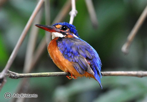Blue-eared Kingfisher | by ady_kristanto