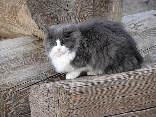 fluffy light gray cat - photo #28