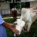 Sacrifice Herd, Cibubur