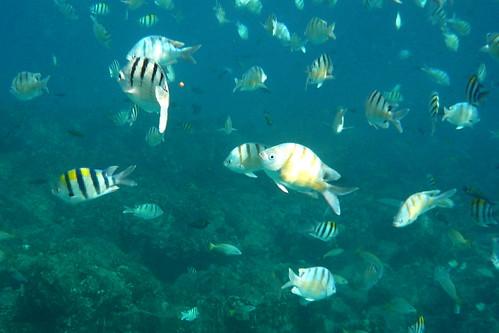 Tropical Fish Near Electric Beach Oahu Hawaii Tropical