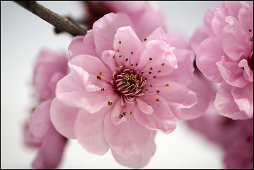Early cherry blossoms | by laheringer