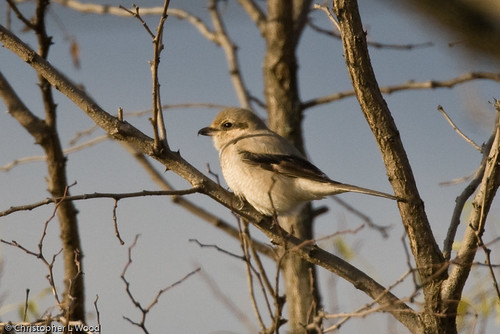 Northern Shrike (first-cycle), Dublin Hill Rd., Aurora, Cayuga Co., NY 19-Nov-07 | by Christopher L Wood