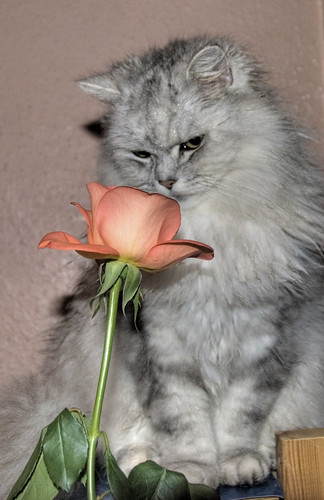 A wet cat and a Rose. | by Ben124.