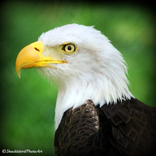 Stare of the Eagle | by ShacklefordPhotoArt
