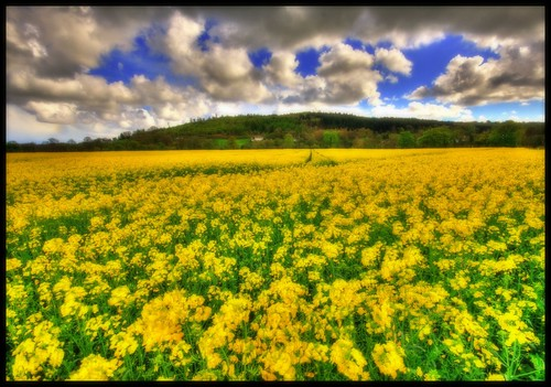 BILLOWING SOFTNESS - RAPESEED - CLOUDS | by Wiffsmiff23