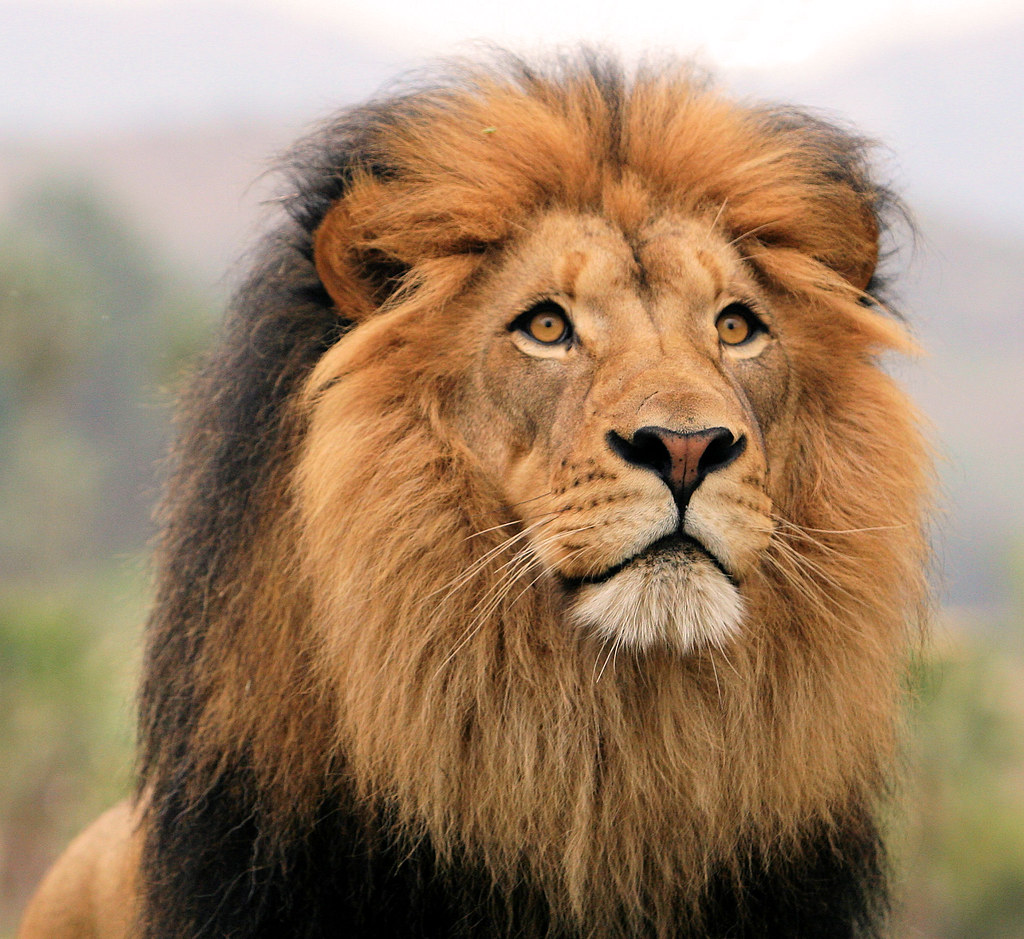 If House Cats Were As Big As Lions