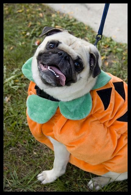 Pumpkin Pug The Pug Rescue Network Charity Pug O Ween