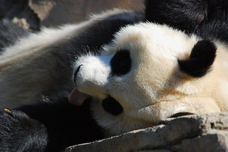 Mei Xiang and Tian Tian | by Craig Salvas - Simba on 17th