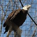 columbus zoo (bald eagle)7
