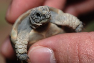 Five days old baby tortoise | by Rami ™