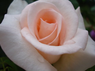 Soft pink Rose | by Kounellis