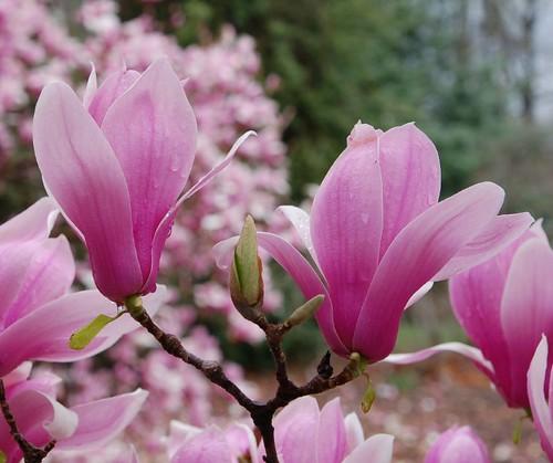 Pink flowering trees flickr mightylinksfo