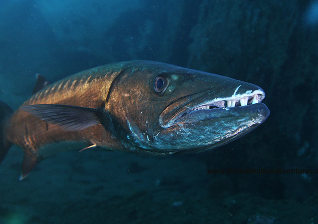 an analysis of the topic of the bermuda barracuda