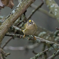 Goldcrest | by Sergey Yeliseev