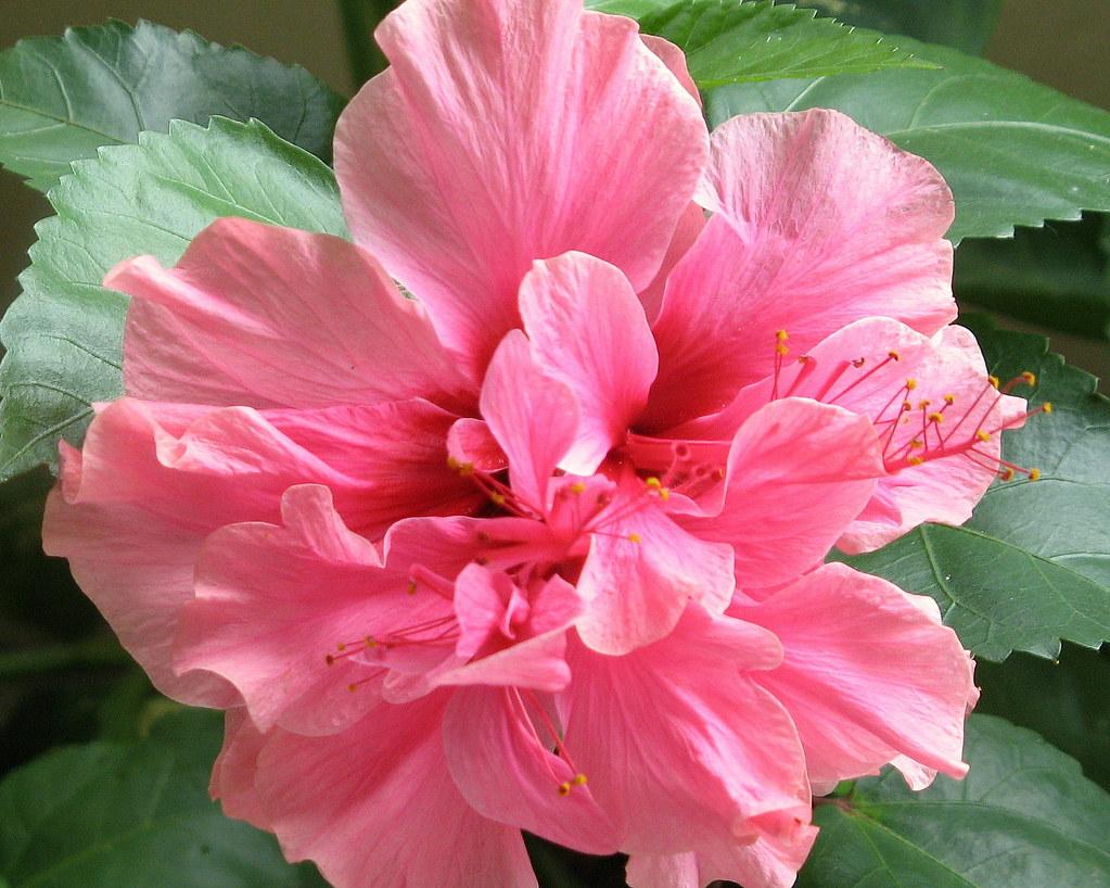 TRIPLE PINK HIBISCUS by carolynthepilot on deviantART |Triple Hibiscus