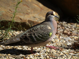 Common Bronzewing (Phaps chalcoptera) | by David Cook Wildlife Photography