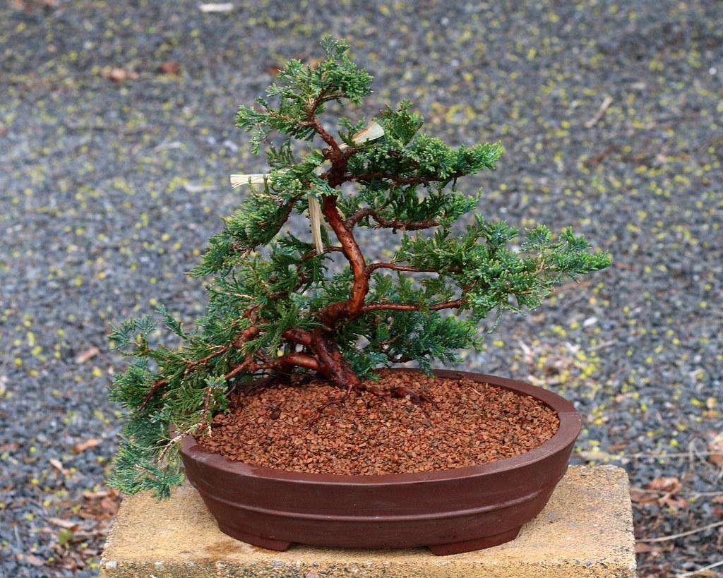 Blue Rug Juniper Bonsai 90