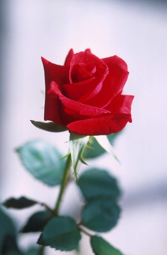 Symbol Of Love Original Usda Caption A Red Rose Symbol Flickr