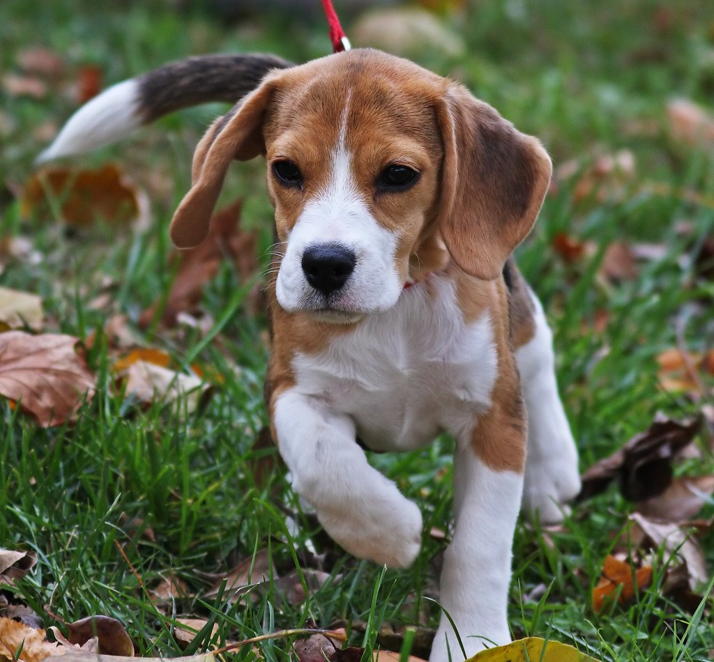 beagle cute puppies beagles puppy flickr week adorable weeks dog grass pro