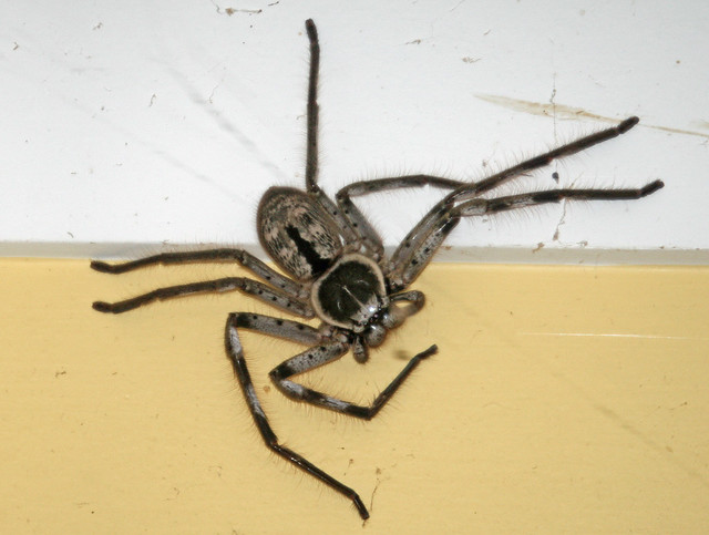 Grey Huntsman In The Garage Commonly Known As A
