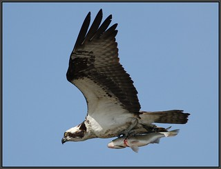 Osprey heavy with fish | by Eric C. Reuter