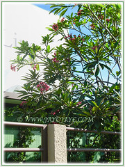 Medium-sized Plumeria tree with pink flowers, 11 Feb 2017