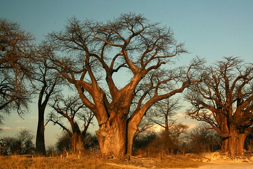 Baobabs | by prezz
