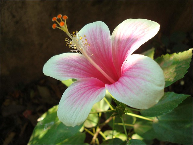 Pink and White Shaded Hibiscus | The White and Pink shaded ...