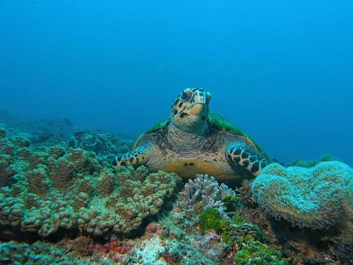 Hawksbill turtle at rest | by altsaint