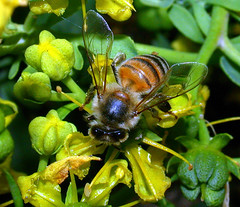 Honey Bee on Rue Flower - C95-5-10-08_10117 | by Cap001 - Dan