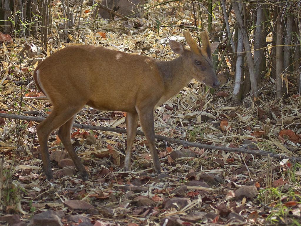 Indian Muntjac Or Barking Deer Male Common Muntjac