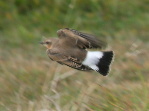 Wheatear, Penninis (St Mary's, Scilly), 3-Oct-07 | by Dave Appleton