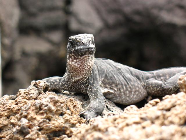 Baby Marine Iguana on Bartolome Island, Galapagos | Flickr ...