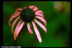Echinacea tennesseensis-JH3602 | by BONAP