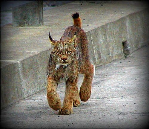 Lynx just walkin' by  ©All Rights Reserved | by Rebecca Tifft