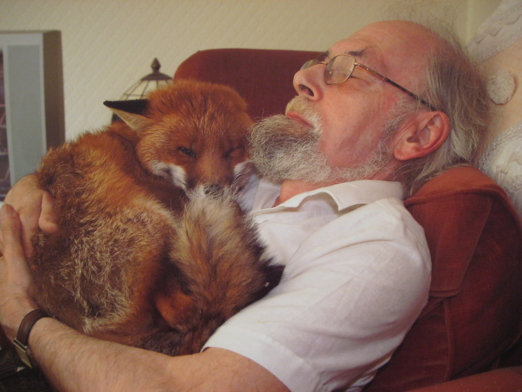 Man Asleep In Armchair In Front Of Tv With Tame Red Fox