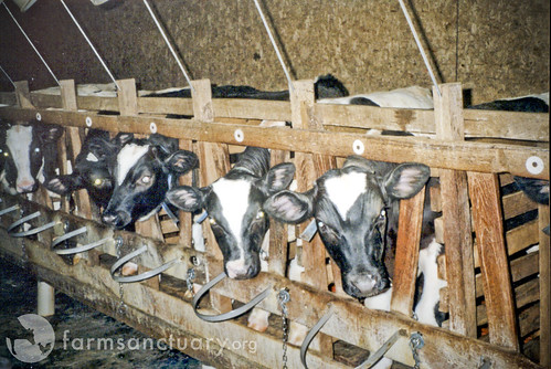 Veal Crates | by Farm Sanctuary