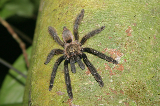 Costa Rican Orangemouth Tarantula Psalmopoeus Reduncus