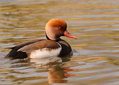 Red Crested Pochard | by DodderyIceDry