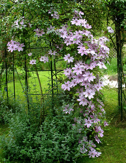 Clematis 'Nelly Moser' 2495010775_38c67b55d7_n