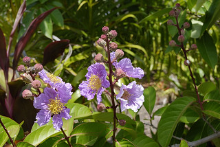 Pride of India, Lagerstroemia speciosa | by austr07
